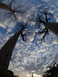 Looking Up at Baobabs on Baobabs Avenue  Morondava  West Madagascar