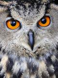 Eurasian Eagle-Owl Captive  France