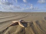 Common Starfish Washed Up on Beach  Norfolk  UK  November 2008