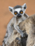 Ring-Tailed Lemur Baby on Mother&#39;s Back  Portrait  Berenty Private Reserve  Southern Madagascar