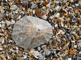 Rayed Mediterranean Limpet Shell on Beach  Mediterranean  France