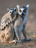 Ring-Tailed Lemur Mother Carrying Baby  Berenty Private Reserve  Southern Madagascar