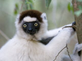 Verreaux&#39;s Sifaka Berenty Private Reserve  Southern Madagascar  Iucn Vulnerable Species