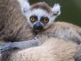 Ring-Tailed Lemur Baby on Mother&#39;s Back  Berenty Private Reserve  Southern Madagascar