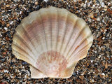 Scallop Shell on Beach  Normandy  France