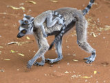 Ring-Tailed Lemur Mother Carrying Baby on Back  Berenty Private Reserve  Southern Madagascar