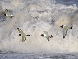 Oystercatchers in Flight over Breaking Surf  Norfolk  UK  December