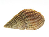 Netted Dog Whelk Shell  Normandy  France