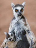 Ring-Tailed Lemur Baby Suckling from Mother  Berenty Private Reserve  Southern Madagascar