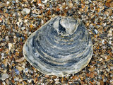 Common Oyster Shell on Beach  Normandy  France