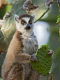 Ring-Tailed Lemur Feeding on Cactus  Berenty Private Reserve  Southern Madagascar