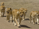Pride of African Lions Walking Along a Track  Serengeti Np  Tanzania