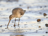 Black Tailed Godwit Feeding in Mud on Tidal Channel  Norfolk  UK  December