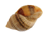 Dog Whelk Atlantic Dogwinkle Shell  Normandy  France