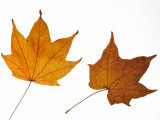 Painted Maple Leaves in Autumn Colours  Native to Korea  Japan  Manchuria  Usa and Canada
