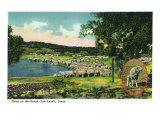 San Angelo  Texas - View of Sheep on the Range  c1948
