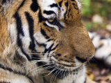 Siberian Amur Tiger  Male Rescued from Poachers  Eutyos Wildlife Rehabilitation Centre  Kutuzovka