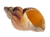 Common Whelk Shell Showing Aperture  Normandy  France