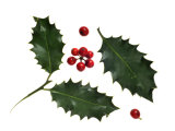Holly Leaves and Berries  Belgium