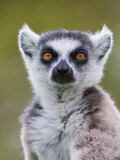 Ring-Tailed Lemur Portrait  Berenty Private Reserve  Southern Madagascar