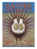 Nature Magazine - View of a Greater Sage-Grouse Bird All Puffed Up  c1932