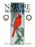 Nature Magazine - View of a Cardinal Perched on a Pine Branch  c1927