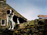 Border Collie on Moss Covered Stone Wall