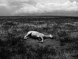 Horse Lying on Side in Field