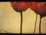 Study of Red Poppies
