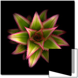 Cactus Star