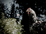 Black Spotted Rooster in Field
