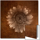 Sepia Gerbera Daisy