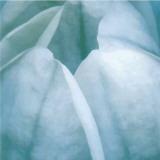 Tulip Trio III