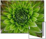 A Giant Lobelia Plant
