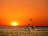 Giraffes Stretch their Necks at Sunset  Ethosha National Park  Namibia