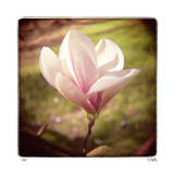 Spring Magnolia