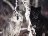 Grey Wolves Showing Fur Colour Variation  (Canis Lupus)