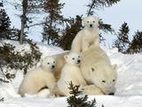 Polar Bear (Ursus Maritimus) Mother with Triplets  Wapusk National Park  Churchill  Manitoba