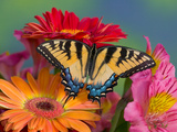 Eastern Tiger Swallowtail Female on Gerber Daisies  Sammamish  Washington  USA