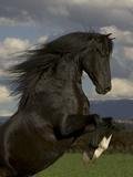 Black Peruvian Paso Stallion Rearing  Sante Fe  NM  USA