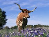 Texas Longhorn Cow  in Lupin Meadow  Texas  USA