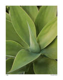 Agave