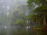Great Egret Reflected in Foggy Cypress Swamp  Lake Martin  Louisiana  USA