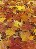 Maple Leaves  Acer  on Autumn Eastern Deciduous Forest Floor  USA