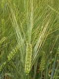 Barley Flowers (Hordeum Vulgare)