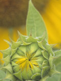 Sunflower (Helianthus Annuus) Flower Bud About to Open