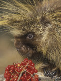 Porcupine Face  Erethizon Dorsatum  North America
