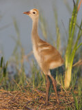 Sandhill Crane Chick in the Nest (Grus Canadensis)  Florida  USA