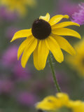 Black-Eyed Susan  Rudbeckia Hirta