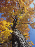 Sugar Maple in Fall Colors  Acer Saccharum  Eastern North America